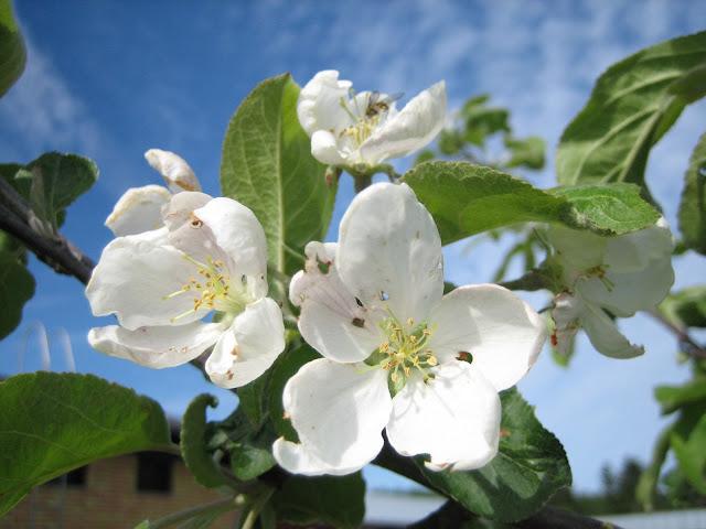 Kukkivaomenapuu.jpg