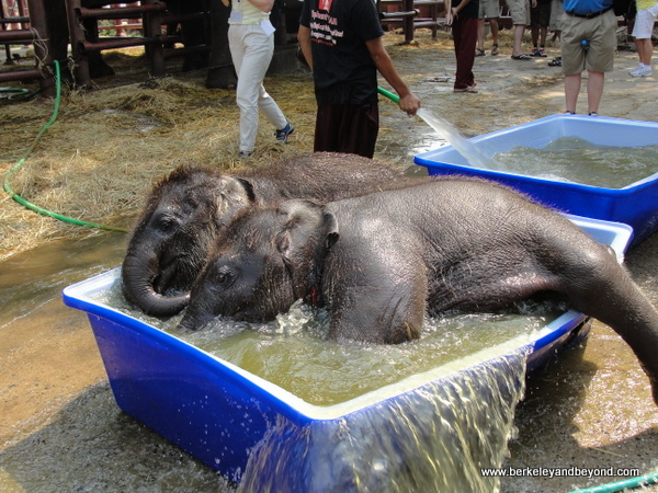 baby elephants bathing at ElephantStay village in Ayutthaya, Thailand