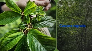 Cascara sagrada Cascara tea is used for treating constipation and anxiety.