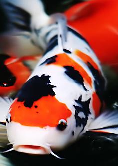 Gambar Ikan Koi Raksasa