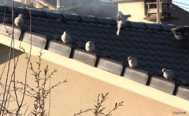 Tourterelles sur un toit