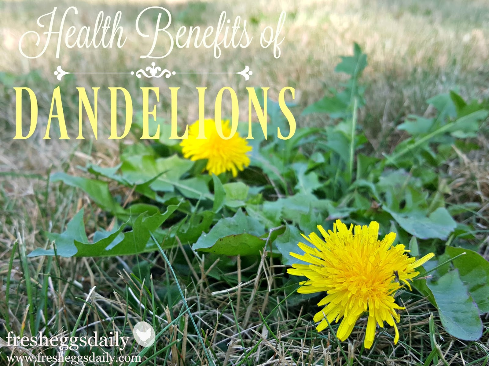 The Health Benefits Of Dandelions For Chickens And Ducks Fresh