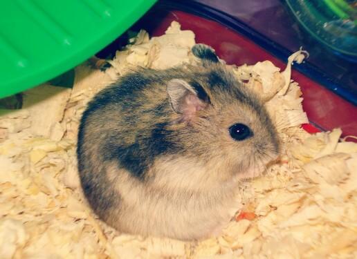 Penyebab Dan Cara Mengatasi Agar Hamster Tidak Bau Terbukti Hobinatang