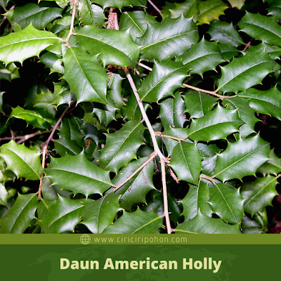 Ciri Ciri Daun American Holly