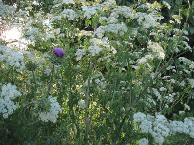 """""""Larry"""" Moore Park in Paso Robles: A Photographic Review - Blooming Milk Thistle and Poison Hemlock"""