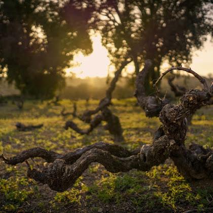 Vinhas velhas de Portalegre criam Série Ímpar Retorto