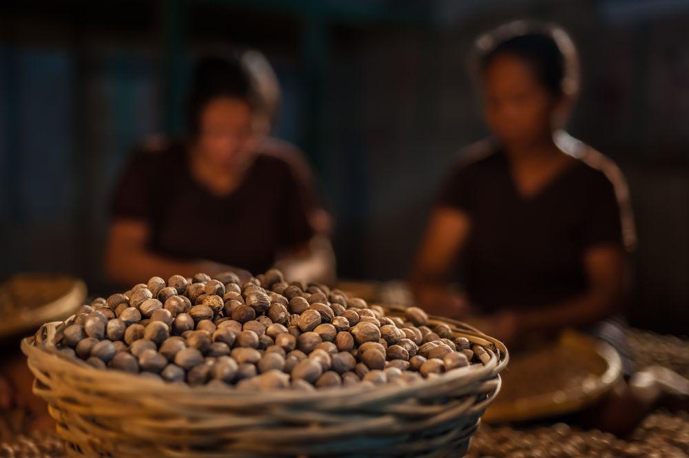Nutmeg harvested in Banda islands