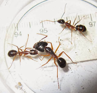 Camponotus major and minor workers