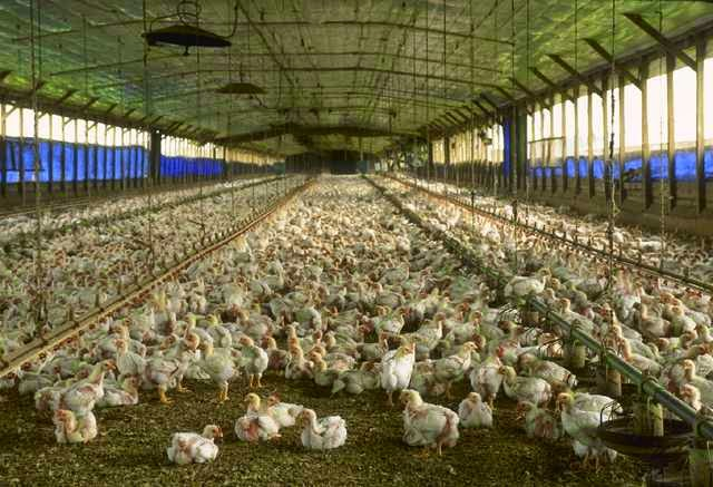 peternakan ayam potong