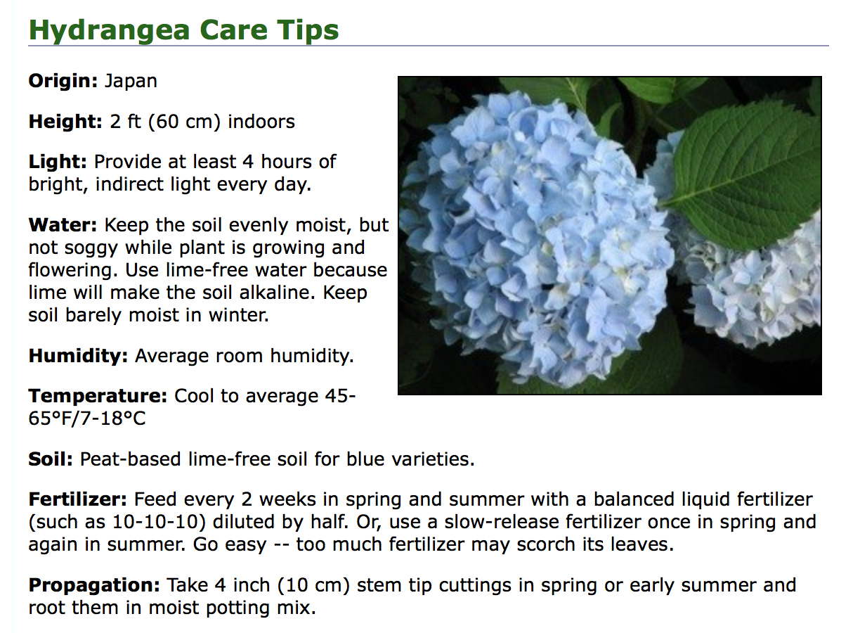 Fancy flowers hydrangea indoor care nature whisper - Care potted hydrangea ...