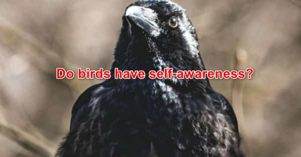 Do birds have self-awareness?