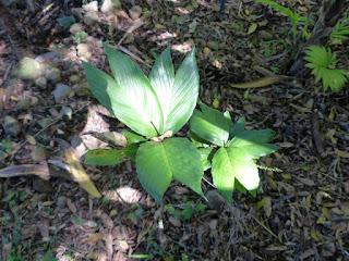 Chamaedorea tenella
