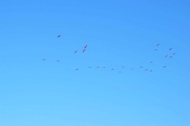 passaros vermelhos voando no ceu
