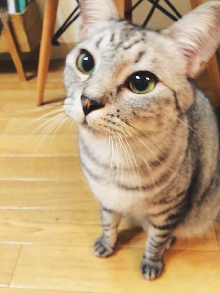 おもちゃに狙いを定めているサバトラ猫
