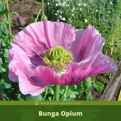 Ciri Ciri Bunga Opium