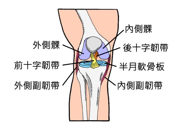 好痛痛 膝蓋 膝關節 外側副韌帶 內側腹韌帶 前十字韌帶 後十字韌帶 半月板 半月軟骨板