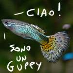 a guppy