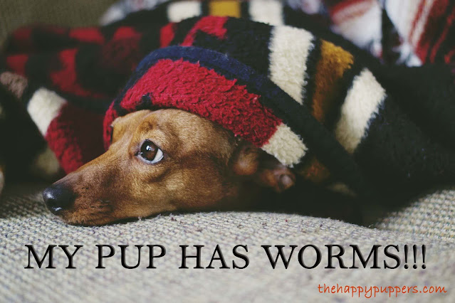My pup has worms! The complete guide to puppy deworming.