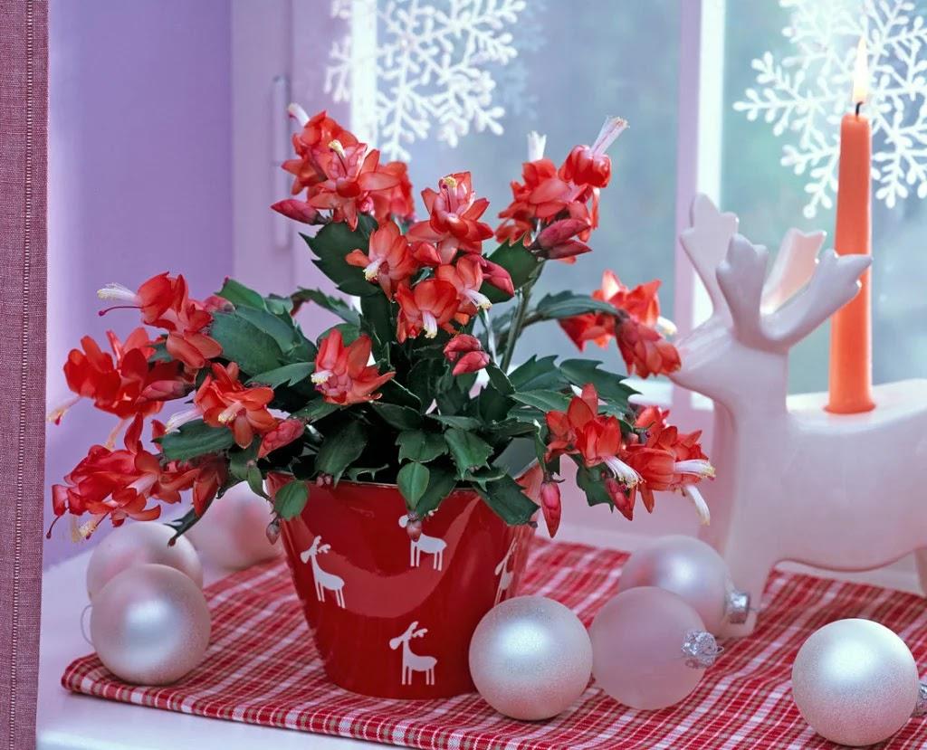 božični-kaktus-cvijeće