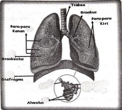 Materi Sistem Pernapasan (Rangkuman SBMPTN)