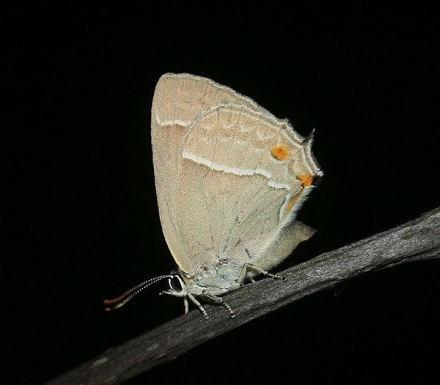 Eichen-Zipfelfalter, Satyrium ilicis