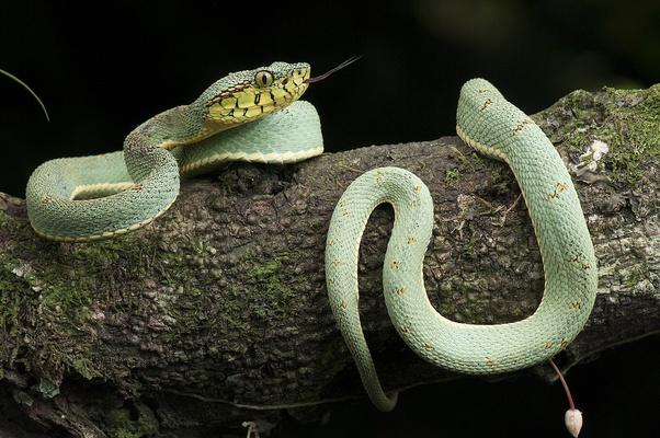 Bothrops bilineatus rắn