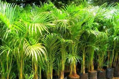Tukang Taman Surabaya 10 Jenis Tanaman Hias Untuk Taman Jepang