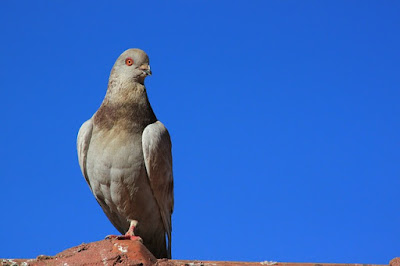 93+ Foto Gambar Burung Merpati Yg Bagus HD Terbaik Free