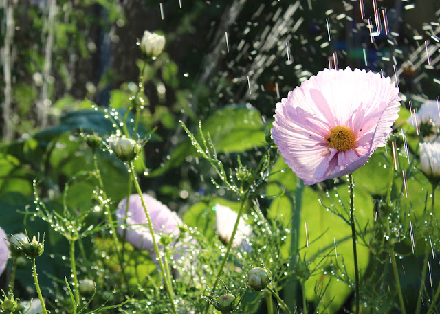Cosmos Cupcake Blush - Flower Garden