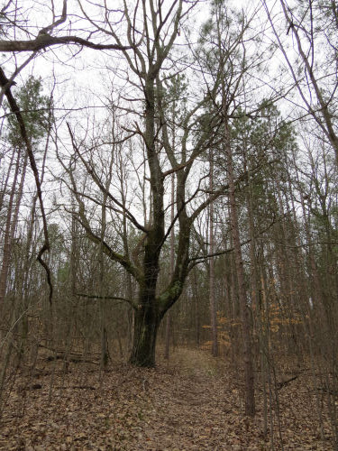 large red oak