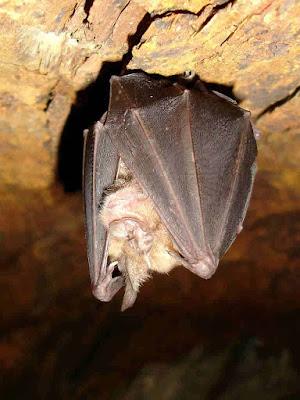 Morcego-ferradura