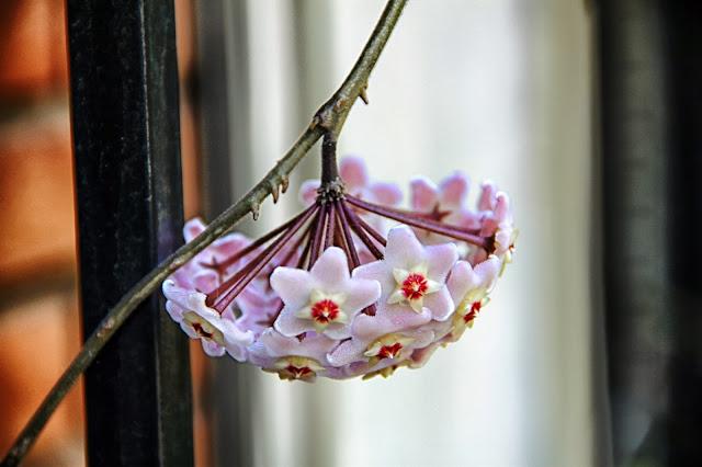 Flor de CXlepia