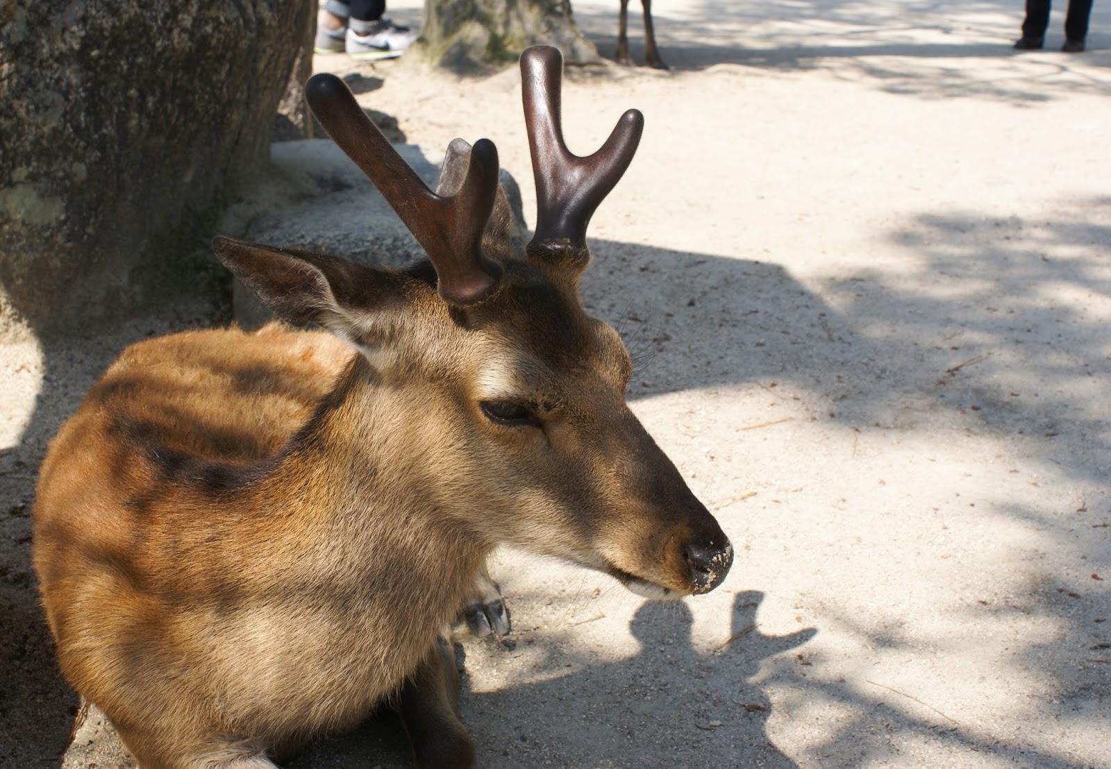 shika deer miyajima itsukushima japan