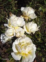 Glorious hybrid tea rose - Mona Vale Garden, Christchurch, New Zealand