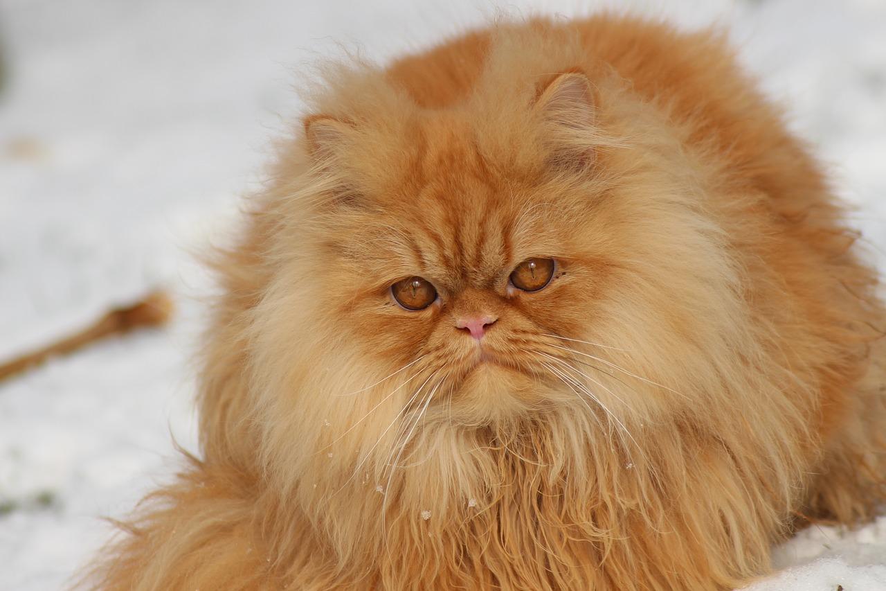 Alopécie chez le chat