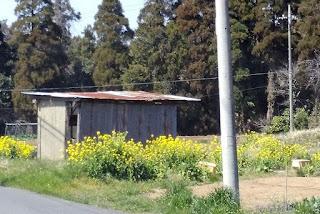菜の花と物置小屋の取材写真