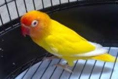 Harga Lovebird Lutino Mata Merah dan Perawatannya