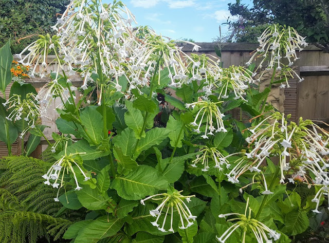 Nicotiana sylvestris - the flowering tobacco plant