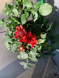 Three red dahlias starting to bloom
