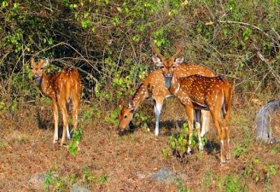 wild deer of Assam