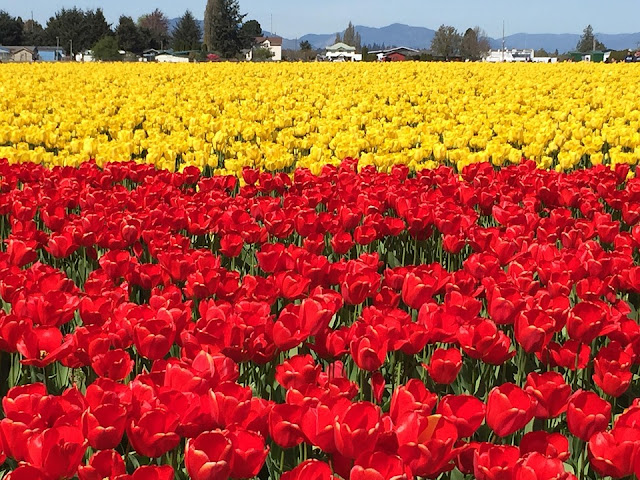 tulipany bioróżnorodność
