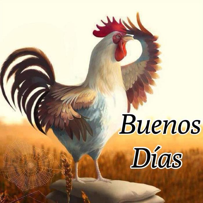 gallo Buenos Días