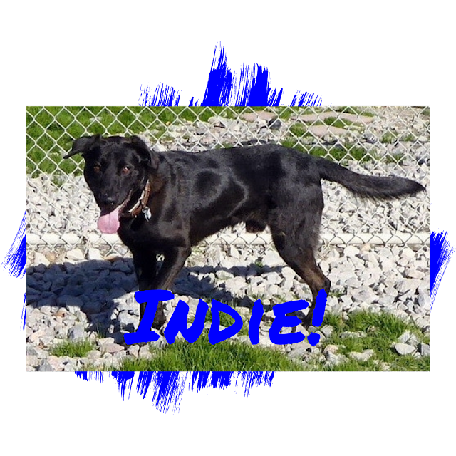 Black Labrador Retriever Dog Adoption