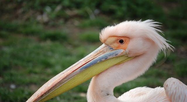 Пеликан влезе в ресторант и се нареди на опашка (ВИДЕО)