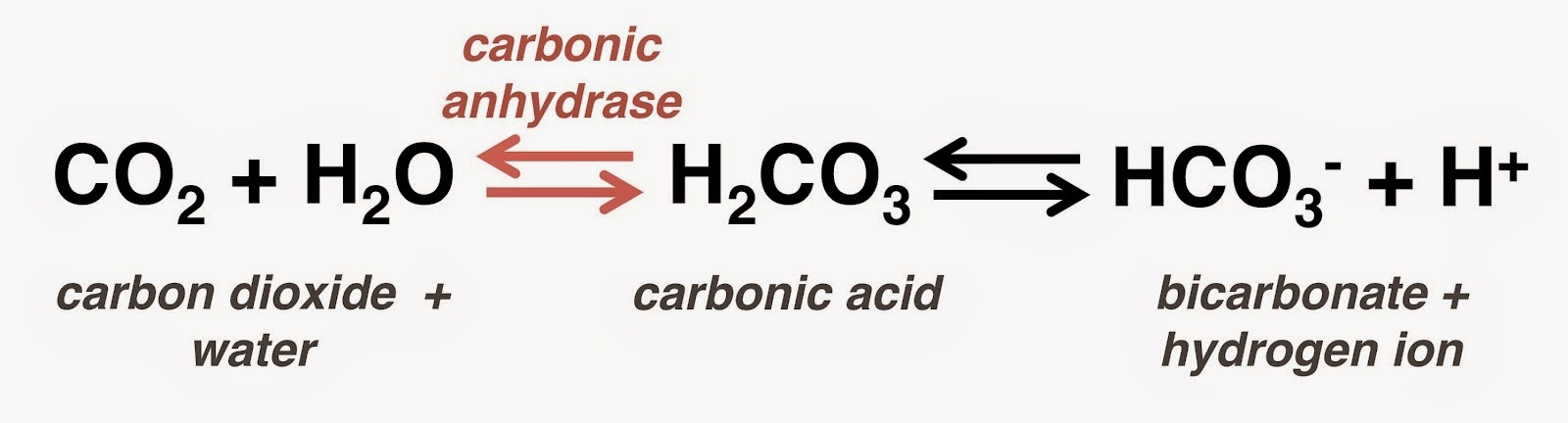 Carbonic >> #45 The components of blood, O2 and CO2 transport | Biology Notes for A level