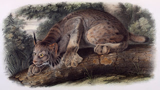 A color illustration of a lynx crouched on a log.