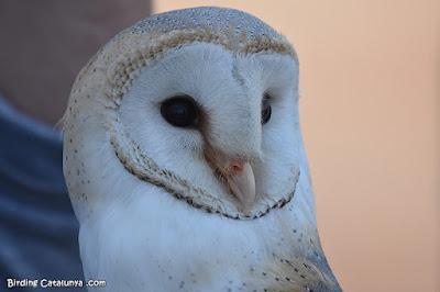 Òliba (Tyto alba)