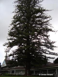 Huge Cook pine, Four Seasons Lodge, Lanai