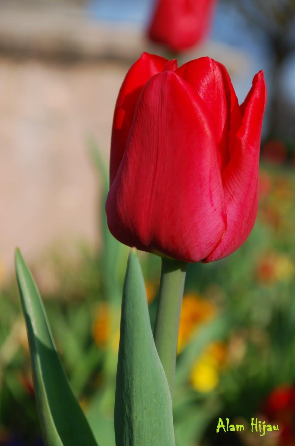 Bunga Tulip Merah Koleksi Foto  Alam Mentari
