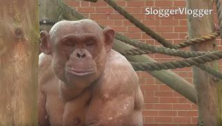 Alopecia in Chimpanzees.